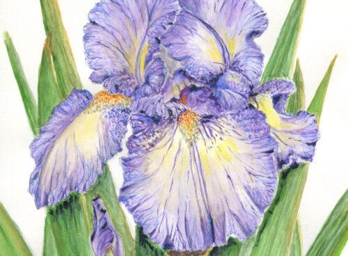 133 Iris 'Lady Essex'