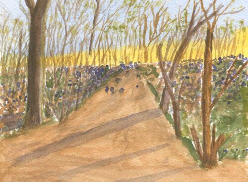 199 Bluebell woods, Earls Colne