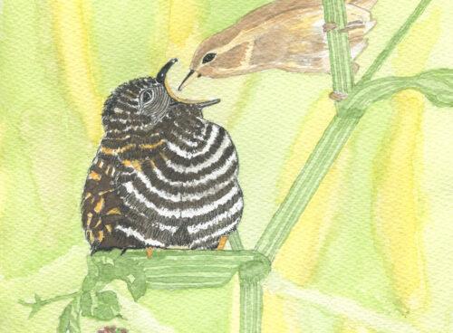 240 Reed warbler feeding baby cuckoo