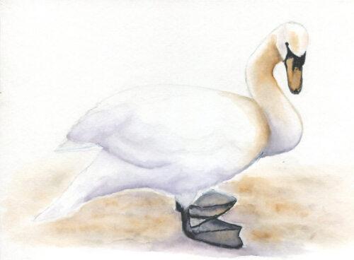 279 Pensive swan