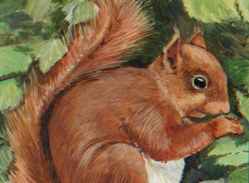 3 Red Squirrel