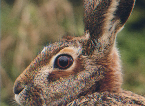 418 Brown hare