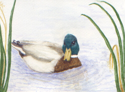 482 Abberton duck