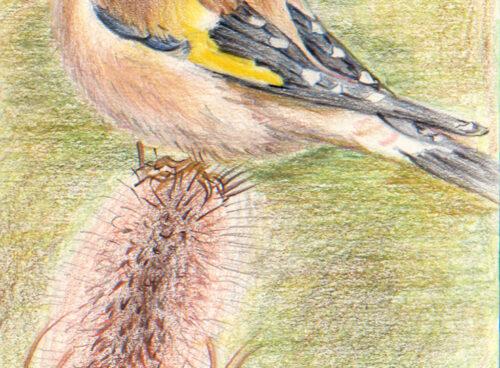 63 Goldfinch on teasle